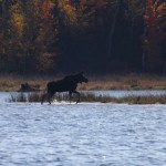 Young Bull Moose Emerging from Lake
